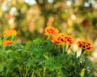 Marigolds - Flower Garden Photo Print - Size 8x10, 5x7, or 4x6