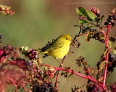 Yellow Warbler bird photography, yellow and brown nature print, childrens decor
