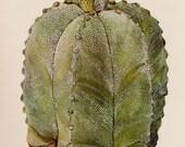 Antique Cactus Print Vintage Botanical Yellow Flower Gallery Wall Art Cottage and Desert Decor Bishops Cap Cactus  2554