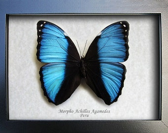Blue Banded Morpho Achilles Real Butterfly From Peru In Shadowbox