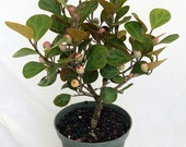 "Mistletoe Fig Tree - Mas Cotek - Ficus - Bonsai or House Plant-6"" Pot"