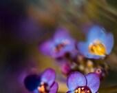 Sweet Dreams | Colorful Purple Blue Bright Summer Garden Alyssum Flower Zen Decor | Fine Art Nature Photography