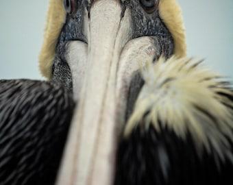 Pelican up close - photographic print