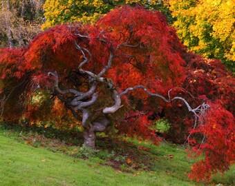 Japanese Maple Tree in Autumn - Art Photograph Print
