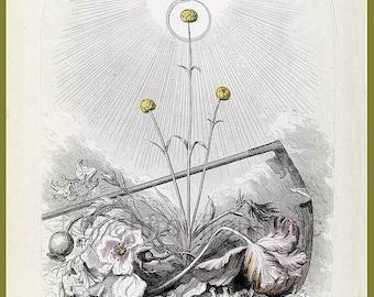 antique french botanical illustration flower woman the immortelle DIGITAL DOWNLOAD