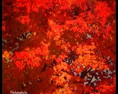 Flaming Red-Orange Maple Photo Wall Art Three Image Set - Home Decor, Foliage, Maine, Autumn Tree, Flame Orange, Red, New England, Leaves