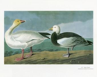 "12x15""  Vintage Audubon Bird Print Snow Goose c-1960 Ornithology Bird Lover Watcher Great Decor Water Fowl Birds of America"