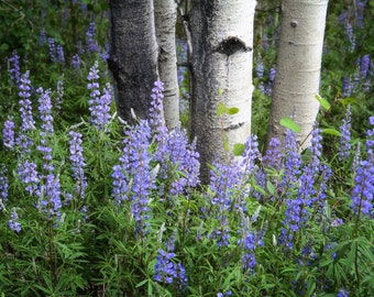 Wildflower photo, silver lupine flower, aspens trees photo, blue wildflower photography, nature decor, aspen trees wall art, log cabin decor