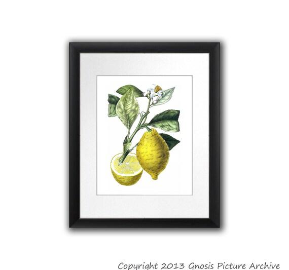 kitchen decor lemon botanical print citrus fruit no.10 wall