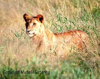 Lioness - Digital Photography, Lion Photography, Lion Art, Lion Decor, Nature Photography, Lion Wall Art, Safari Art, Wildlife Photography