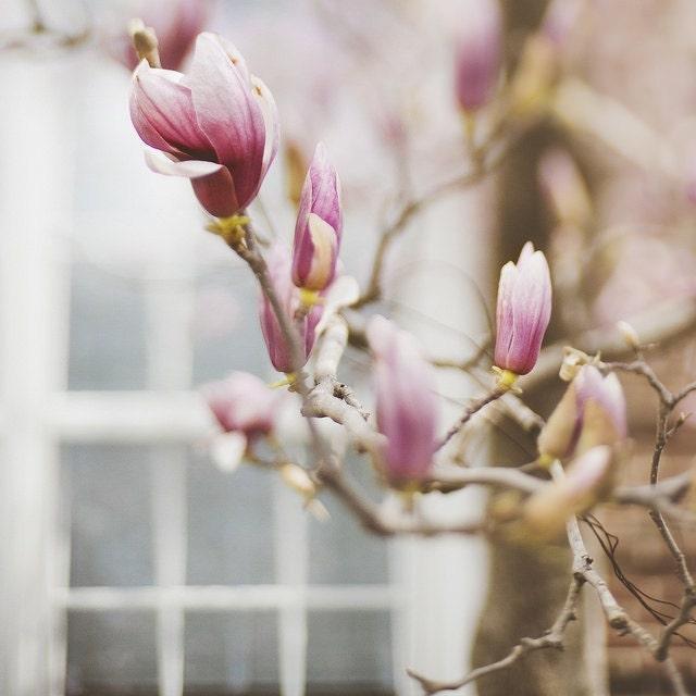 Pink Spring Magnolias Trina Baker Photography Lawrence Kansas