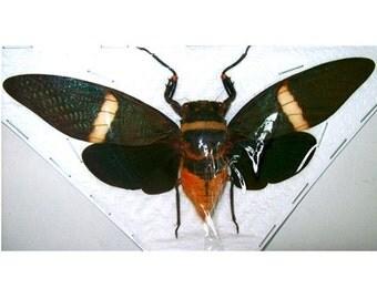 OVERSTOCK: spread Tosena fasciata Cicadas