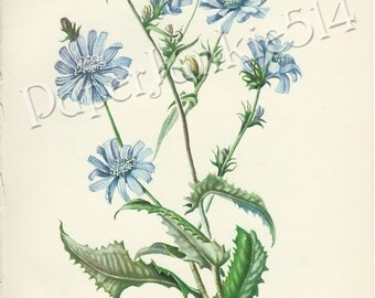 Antique Book Plate - Chicory - Botanical - Flowers - Wild Flowers / Cichorium Intybus
