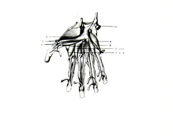 Human Anatomy - The Muscles and Tendons of the Hand - 1975 Vintage Anatomy Print -  12 x 9