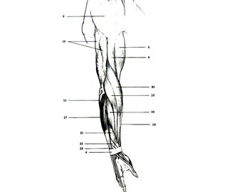 Human Anatomy - The Muscles of the Arm - 1975 Vintage Anatomy Print -  12 x 9