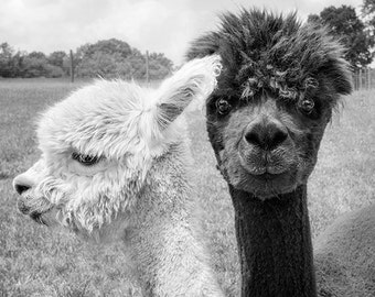 Animal Photograph, Alpaca Print or Canvas Gallery Wrap, Animal, Black & White Photography, Monochromatic Art, Animal Wall Decor - Oh Hey!