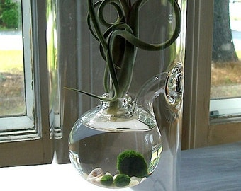 Sublime. Marimo and Air Plant Tillandsia. Hand Blown Glass. Terrarium