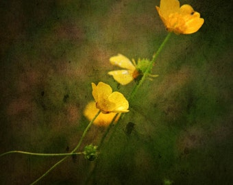 flowers buttercup yellow spring summer nature photography home decor nursery decor bathroom decor