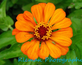 Orange Zinnia Greeting Card-READY TO SHIP