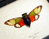 Real Framed Green Red Cicada Insect  2492