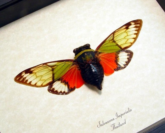 Real Framed Green Red Cicada Insect Shadowbox Display 2492
