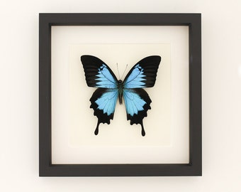 Framed Butterfly Papilio ulysses Blue Mountain 9x9 Museum Display