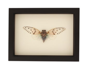 Real Framed Ghost Cicada UV Glass Taxidermy