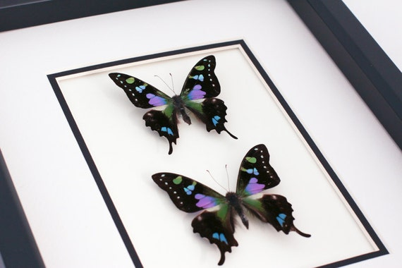 Framed Butterflies Purple Mountain Butterfly Double Display