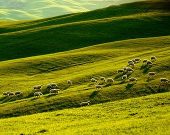 Sheep Photograph Tuscany Photography Italy Photo Landscape Italian Countryside Umbria Lambs  nat10