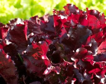 Organic Merlot Lettuce Seeds