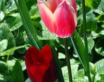Soakin' Up The Sun Nature Photograph - flowers, pink, white, nature photography, flower photography, red, tulips, art print, flower print
