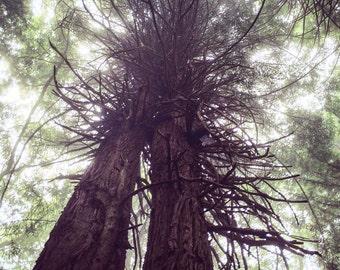 redwoods in love, ca. - digital print
