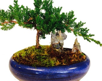 Young Juniper Bonsai with rock Landscape in oval pot