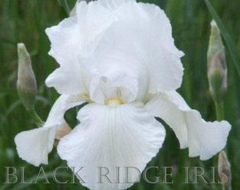 Tall Bearded Iris PURISSIMA 1927 Historic White beauty