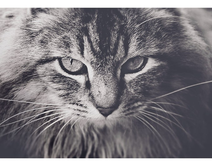 Cat photography, animals, feline, wall decor, eyes, cat eyes, brown, black, white