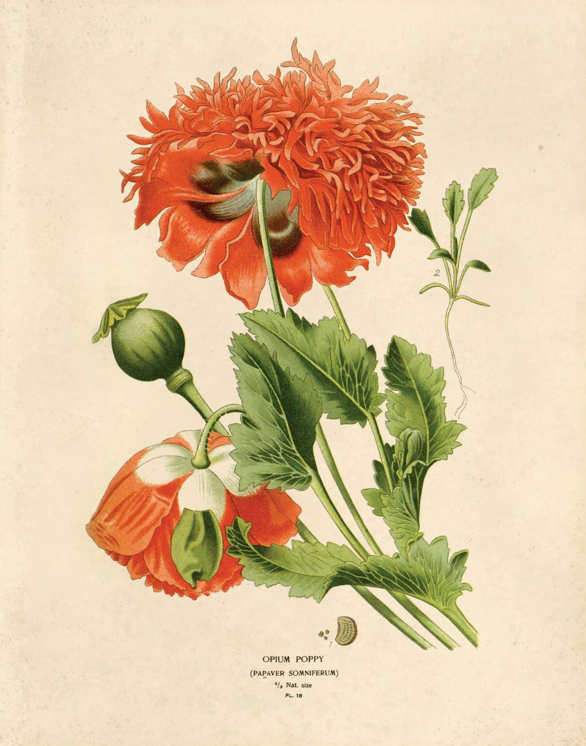 Vintage Flower Botanical Print Reproduction. Red Opium Poppy ...