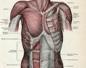 SALE - MUSCLES of HUMAN trunk, 1947 medical diagram of human anatomy chart, antique medical print