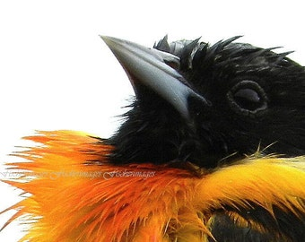 Macro Baltimore Oriole Bird Nature Wall Art Home Decor Digital Download Fine Art Photography