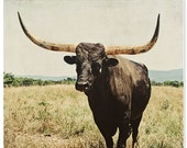 Animal photography, cattle, bull,  cabin rustic photography, cowboy art