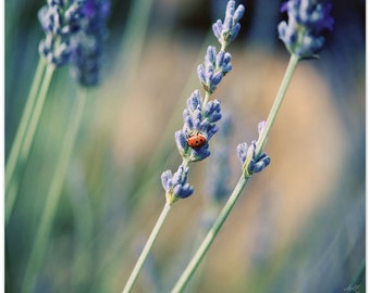 Nature Photography, Still Life Photo, flowers, lavender, lady bug, fine art print