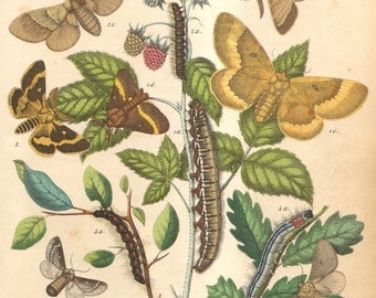 1863 Antique Hand Coloured Copper-plate Engraving of Lappet or Snout Moths