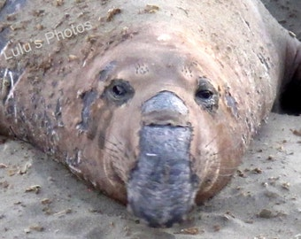 Elephant Seals, Nature Photography, Prints, Cards and Note Cards