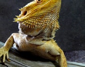Bearded Dragon Lizard Reptile Picture Card
