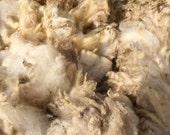 Raw Coopworth fleece, skirted, 4 plus pounds 5 plus inch staple