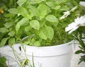 Heirloom 1000 Seeds Sweet Holy Basil Ocimum basilicum Tulsi Herb Flower Fresh Bulk Seeds B0102