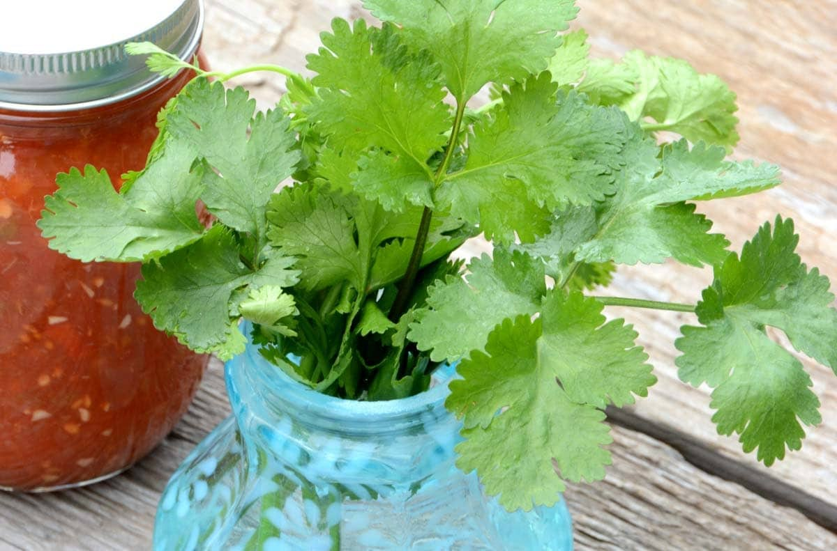 Cilantro Seeds Heirloom Herb Seeds Cilantro Is Great For Salsa