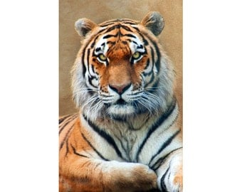 Tiger Portrait  - 12x18 Photograph - Wildlife Photography  - Tiger Photo - Tiger Print - Boy's Room - Wall Art - Animal - Wall Display