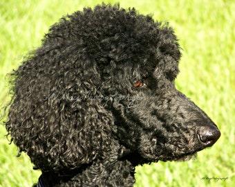 Black Poodle Picture / Black Poodle Print / Free US Shipping