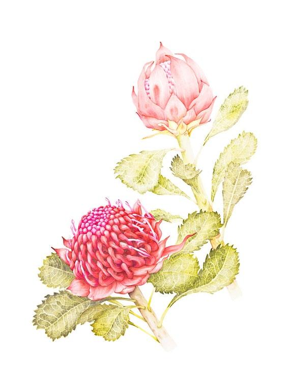 Waratah Botanic Illustration Fine Art Print 12 x 16 inch