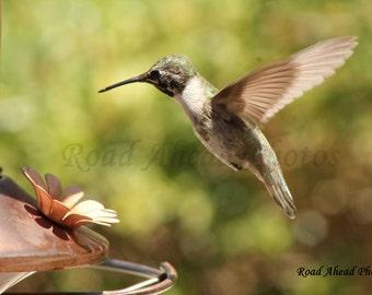 8 x 10 matted photograph, Hummingbird photo